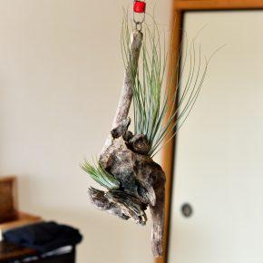 流木の鉢(エアープランツ用)