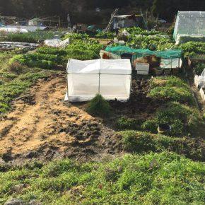 フェアリーベッチの種まき、パクチーと人参の収穫