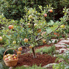 普通の果樹を矮性のようにする選定方法