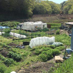 永田農法実践のために、日向土と赤玉土をあぜ切り君で作った円に入れる。二十日大根と二十日わけぎの収穫。ミント収穫。ほうれん草収穫。