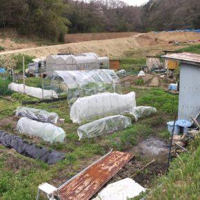 ハウスにトンネルシートをはってみるミントとシイタケとほうれん草(少しだけ春菊)収穫