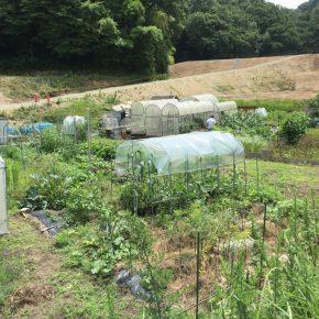 トマト吊り作業、パクチー種植えなど